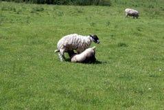 一只羊羔和母羊的绵羊在农田里 免版税库存照片