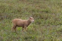 一只羊羔在一个私有开放动物园里 图库摄影