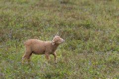 一只羊羔在一个私有开放动物园里 库存照片