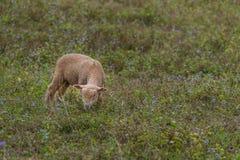 一只羊羔在一个私有开放动物园里 免版税库存照片