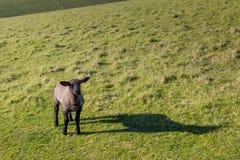 一只羊羔在乡下 库存照片