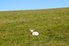 一只羊羔在乡下 免版税库存照片