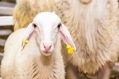 一只羊羔 免版税库存照片