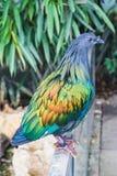 一只美丽和五颜六色的nicobar鸽子鸟的特写镜头 库存图片