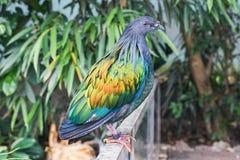 一只美丽和五颜六色的nicobar鸽子鸟的特写镜头 免版税图库摄影