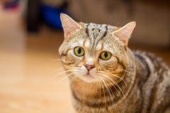 一只美丽和毛茸的刻痕猫 免版税库存图片