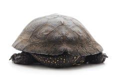 一只美丽的乌龟 免版税库存照片