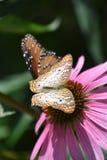 一只美丽的五颜六色的蝴蝶 图库摄影