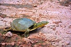 一只美丽的亚洲草龟 免版税库存图片