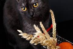 一只美丽的健康英国苏格兰猫的画象 库存照片
