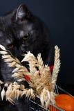 一只美丽的健康英国苏格兰猫的画象 免版税库存照片