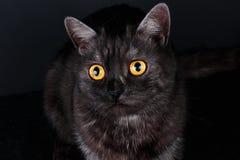 一只美丽的健康英国苏格兰猫的画象 免版税图库摄影