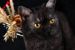 一只美丽的健康英国苏格兰猫的画象 图库摄影