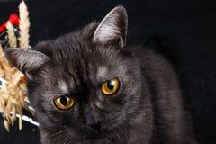 一只美丽的健康英国苏格兰猫的画象 免版税库存图片