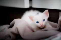 一只美丽的全部赌注暹罗猫的画象,白色颜色,蓝眼睛,在家美好的关闭,美丽的猫 逗人喜爱滑稽使用 库存图片