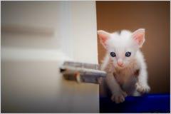 一只美丽的全部赌注暹罗猫的画象,白色颜色,蓝眼睛,在家美好的关闭,美丽的猫 逗人喜爱滑稽使用 免版税库存照片