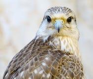 一只美丽的公旅游猎鹰的画象 免版税库存图片