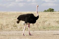 一只美丽的公驼鸟,马塞语玛拉,肯尼亚 免版税库存照片