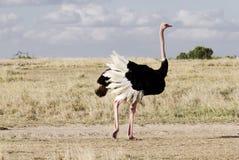 一只美丽的公驼鸟 免版税库存图片