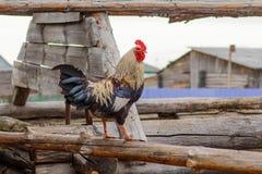 一只美丽的公鸡在一个被毁坏的谷仓的屋顶温文地站立 库存图片