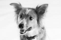 一只美丽的博德牧羊犬说出捉住款待的雪莉名字 图库摄影