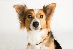 一只美丽的博德牧羊犬说出捉住款待的雪莉名字 免版税库存照片