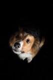 一只美丽的博德牧羊犬说出捉住款待的雪莉名字 库存图片