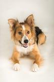 一只美丽的博德牧羊犬说出捉住款待的雪莉名字 免版税图库摄影
