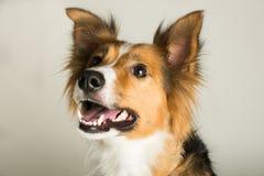 一只美丽的博德牧羊犬说出捉住款待的雪莉名字 免版税库存图片