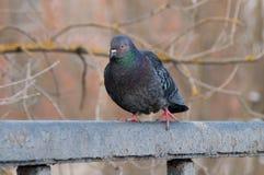 一只美丽的压抑鸽子的画象在一个晴朗的春日 免版税库存图片