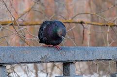 一只美丽的压抑鸽子的画象在一个晴朗的春日 库存照片