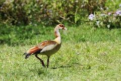 一只美丽的埃及鹅 库存照片
