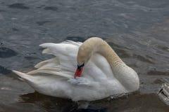一只美丽的天鹅安排他的与他的额嘴的羽毛 图库摄影