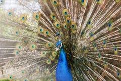 一只美丽的孔雀鸟的画象与五颜六色的羽毛的 库存图片