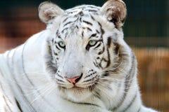 一只美丽的孟加拉白色老虎的画象 图库摄影