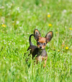 一只美丽的小狗的画象在绿草的 在街道上的小的红色狗在夏天 俄国玩具 图库摄影