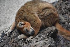 一只美丽的小的狐猴 库存图片