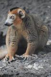 一只美丽的小的狐猴 免版税图库摄影