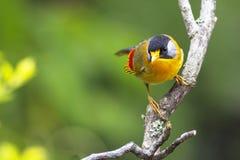 一只美丽的山鸟在干净的背景-银有耳的Mesia中 免版税库存图片