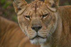 一只美丽的巴贝里雌狮的照片画象 免版税库存图片