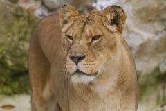 一只美丽的巴贝里雌狮的照片画象 库存图片