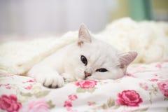 一只美丽的幼小猫,平直品种苏格兰的黄鼠,在床上下 库存图片