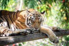 一只美丽的幼小镶边老虎睡觉 特写镜头 水平的框架 库存图片