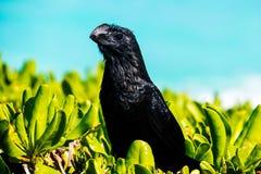 一只美丽的异乎寻常的黑鸟 免版税库存照片