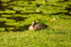 一只美丽的成人野鸭鸭子在公园 库存图片
