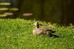 一只美丽的成人野鸭鸭子在公园 图库摄影