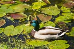 一只美丽的成人野鸭鸭子在公园 库存照片