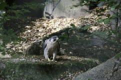一只美丽的旅游猎鹰 免版税库存照片