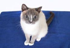 一只美丽的暹罗猫的画象 库存图片