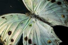 一只美丽的有启发性真珠色的蝴蝶的宏观照片 库存图片